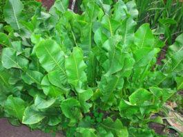 Лечебные свойства и рецепты листьев хрена