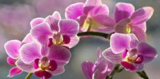 Причины, по которым не цветет орхидея