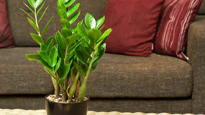 Замиокулькас — долларовое дерево: Секрет ухода2