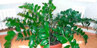 Замиокулькас — долларовое дерево: Секрет ухода1