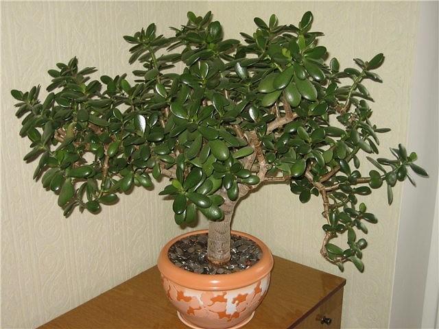 Лечебные свойства денежного дерева, о которых многие и не знают