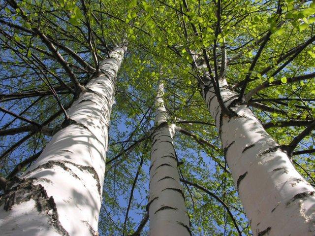 Березовые почки-волшебное натуральное средство от артрита