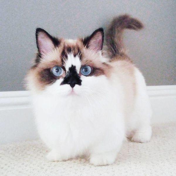 Альберт - один из самых очаровательных котов породы манчкин