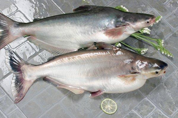 самая вредная рыба